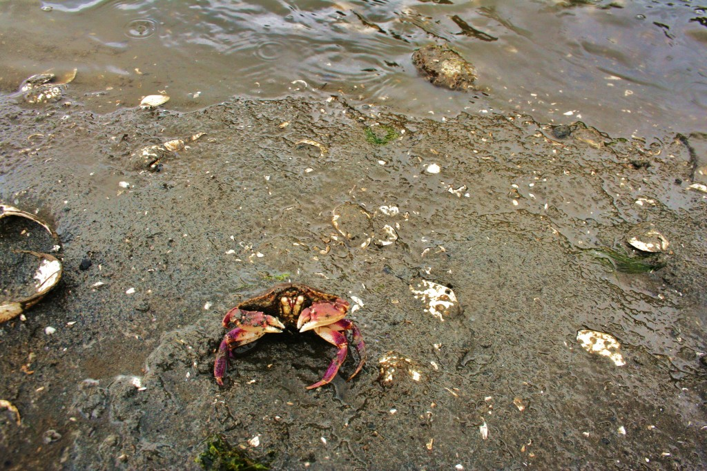 Little Red Crab, beach below Hammersley Inlet